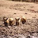 Mangalica állomány fotó