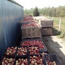 Étkezési alma eladó fotó