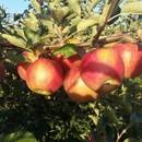 Étkezési alma eladó! fotó