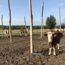 Szarvasmarha-állomány eladó! (9 tehén, 11 borjú) fotó