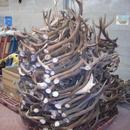 szarvas agancs felvásárlás Országosan 06 30 500 58 68 fotó