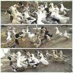 Képeken látható kacsáktól tojás eladó, 250 ft/db áron. Nem postázok! fotó