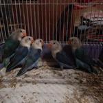 Még több fischer papagáj vásárlás