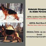 Még több német juhász kutya vásárlás