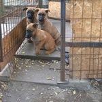 Még több belga juhász kutya vásárlás