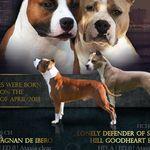 Amerikai staffordshire terrier kölykök fotó