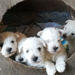 Még több west highland white terrier vásárlás