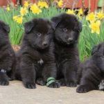 Belga juhász kiskutyák mestertenyésztőtől eladók! fotó