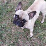 Francia Bulldog kan eladó fotó