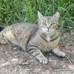 Szeretetre éhes cica befogadható Százhalombattán. fotó