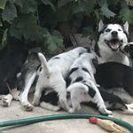 Még több husky kölyök kutya vásárlás
