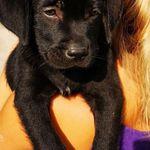 Fekete labrador retriever kölyök kan eladó Kecskeméten fotó