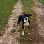 Amerikai staffordshire terrier eladó fotó