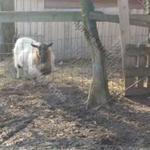 Szarvatlan ivarképes bak kecske eladó szelíd állat. fotó